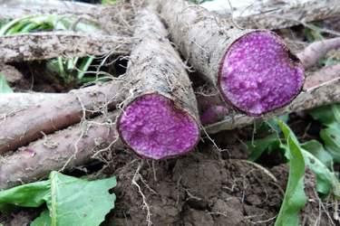 农村种植创业:紫山药种植项目前景及技术要点