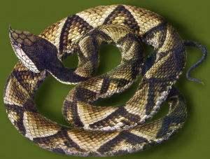 蕲蛇的经济价值及加工、取毒方法
