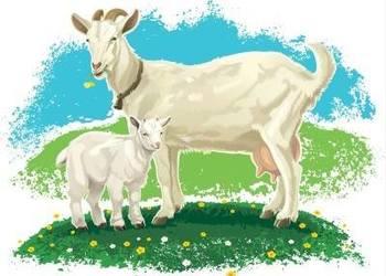 畜牧養羊專題:山羊繁殖技術