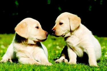 肉狗專題:初生仔狗飼養管理方法